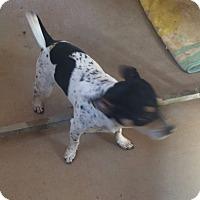 Adopt A Pet :: Speck - Post, TX