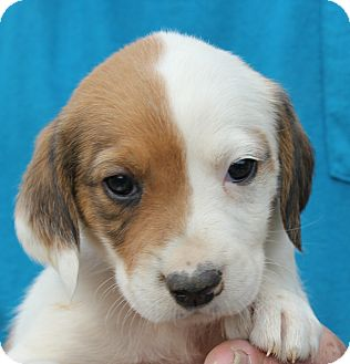 Husky/Hound (Unknown Type) Mix Puppy for adoption in Colonial Heights, Virginia - Slobber Redford