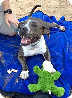 American Pit Bull Terrier Mix Dog for adoption in Gilbert, Arizona - Nala