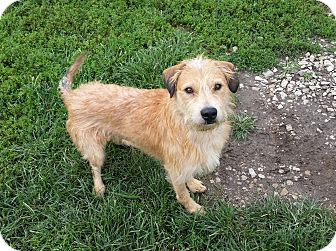 Terrier (Unknown Type, Medium) Mix Dog for adoption in Indianola, Iowa - Scooby
