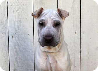 Shar Pei Mix Puppy for adoption in Los Angeles, California - Ernestine