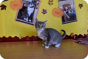 Domestic Shorthair Kitten for adoption in North Judson, Indiana - Dorothy