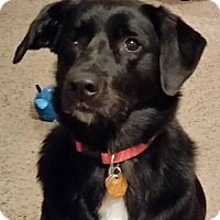 Labrador Retriever Mix Dog for adoption in Lowell, Indiana - Kia