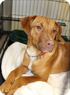 Vizsla/Hound (Unknown Type) Mix Dog for adoption in Island Park, New York - Theo