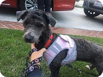 Miniature Poodle/Maltese Mix Dog for adoption in Pasadena, California - Sadie