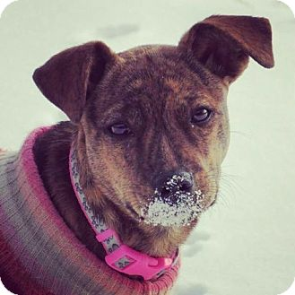 Plott Hound/Shepherd (Unknown Type) Mix Puppy for adoption in Broken Arrow, Oklahoma - Rowdy