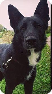 Shepherd (Unknown Type)/Labrador Retriever Mix Dog for adoption in Cambridge, Ontario - Flynn