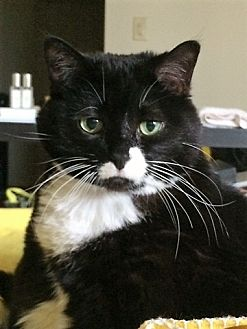 Domestic Shorthair Cat for adoption in Vancouver, British Columbia - Zoey