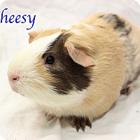 Adopt A Pet :: Cheesy - Bradenton, FL