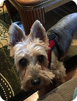 Silky Terrier Mix Dog for adoption in Beachwood, Ohio - Milo