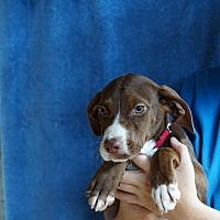 Adopt A Pet :: Silver - Oviedo, FL