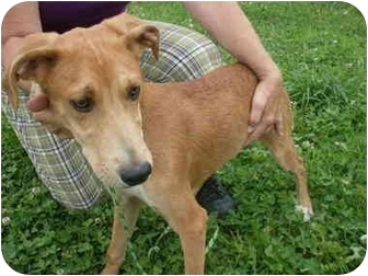 Airedale Terrier/Border Collie Mix Puppy for adoption in Somerset, Kentucky - Scout