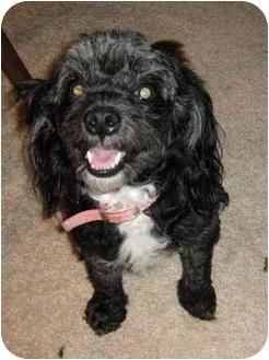 Poodle (Miniature)/Cockapoo Mix Dog for adoption in Berea, Ohio - Holly-Courtesy Post