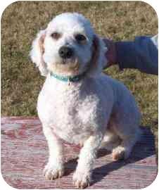 Bichon Frise Dog for adoption in Meadow Lake, Saskatchewan - Maggie