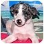Photo 1 - Australian Cattle Dog/Australian Cattle Dog Mix Puppy for adoption in Broomfield, Colorado - Violet