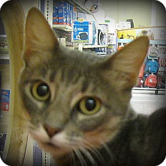 Domestic Shorthair Cat for adoption in Weatherford, Texas - Miss Kitty