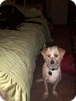 Terrier (Unknown Type, Small) Mix Dog for adoption in Morgantown, West Virginia - Josh
