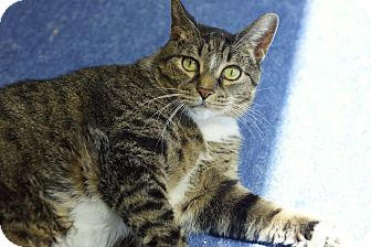 Domestic Shorthair Cat for adoption in Houston, Texas - Bebe