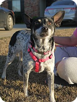 Australian Cattle Dog/Rat Terrier Mix Dog for adoption in Baton Rouge, Louisiana - Daisy