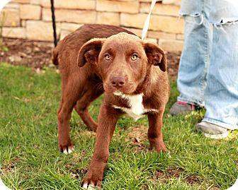 Labrador Retriever Puppy for adoption in Lancaster, Ohio - Hershey