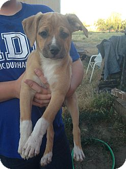 Labrador Retriever/Shepherd (Unknown Type) Mix Puppy for adoption in Tracy, California - Maxie-ADOPTED!