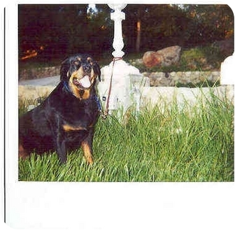 Rottweiler Dog for adoption in Alpine, California - SweetPea