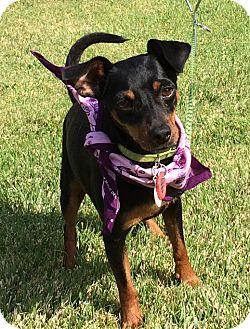 Miniature Pinscher/Manchester Terrier Mix Dog for adoption in Irvine, California - RITA