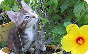 Calico Kitten for adoption in Flower Mound, Texas - Tanya