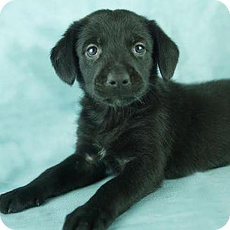 Labrador Retriever/Shepherd (Unknown Type) Mix Puppy for adoption in Columbia, Illinois - Cheri