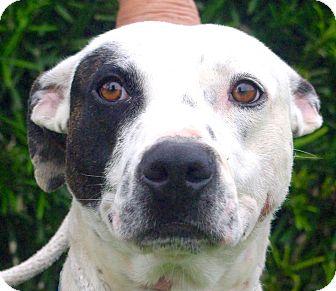American Staffordshire Terrier Mix Dog for adoption in Daytona Beach, Florida - Huck