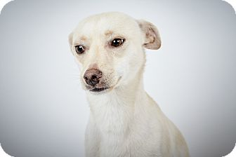 Chihuahua Dog for adoption in New York, New York - Mickey