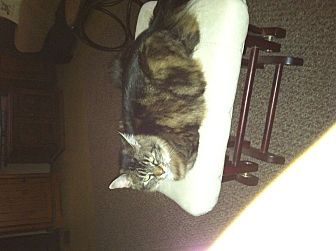 Domestic Mediumhair Cat for adoption in Beaumont, Texas - Marty