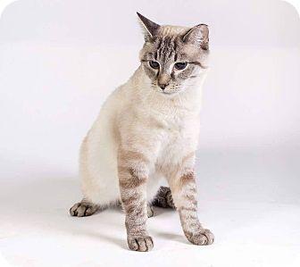 Siamese Cat for adoption in New Castle, Pennsylvania - Sammi