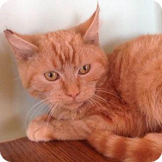 Domestic Shorthair Kitten for adoption in Brimfield, Massachusetts - Cheeto