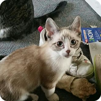 Siamese Kitten for adoption in Anchorage, Alaska - Daffodil