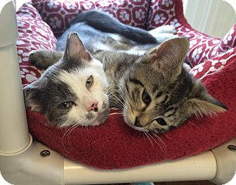 Domestic Shorthair Kitten for adoption in Greensburg, Pennsylvania - Mannix