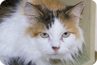 Domestic Longhair Cat for adoption in Salem, Massachusetts - Madeline