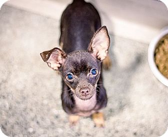 Chihuahua Puppy for adoption in Berkeley, California - Pipskweek