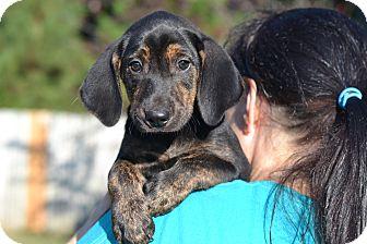 Pointer Mix Puppy for adoption in Acworth, Georgia - Pecan - Nut Litter