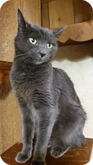 Russian Blue Cat for adoption in Witter, Arkansas - Angel (Russian Blue)