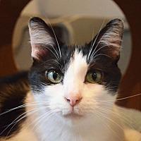 Adopt A Pet :: Mischief - Lincoln, NE