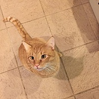 Domestic Shorthair Cat for adoption in Columbia, Maryland - Buster