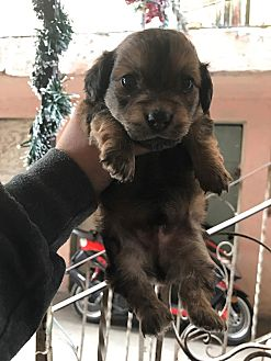 Cocker Spaniel/Shih Tzu Mix Puppy for adoption in Long Beach, California - Milo