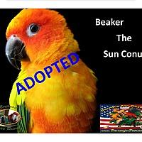 Adopt A Pet :: Beaker the Sun Conure - Vancouver, WA