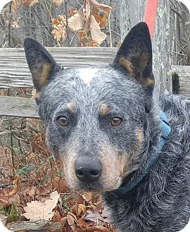 Blue Heeler/Australian Cattle Dog Mix Dog for adoption in Windham, New Hampshire - Smokey