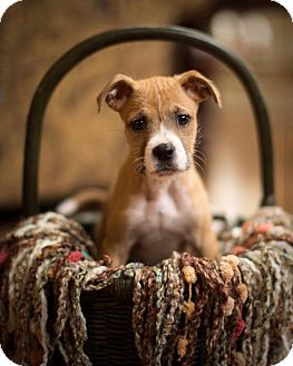 Boxer Mix Puppy for adoption in Oxford, Connecticut - George