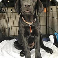 Adopt A Pet :: Blue - Denton, TX