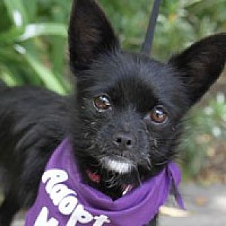 Terrier (Unknown Type, Medium)/Chihuahua Mix Dog for adoption in Pacific Grove, California - Stormy