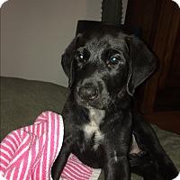 Adopt A Pet :: SHELBY - Dallas, TX