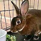 Adopt A Pet :: Zeus the Bunny!